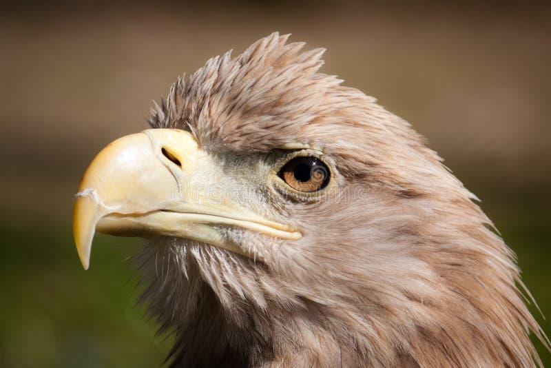 Closeup eagle head stock photography