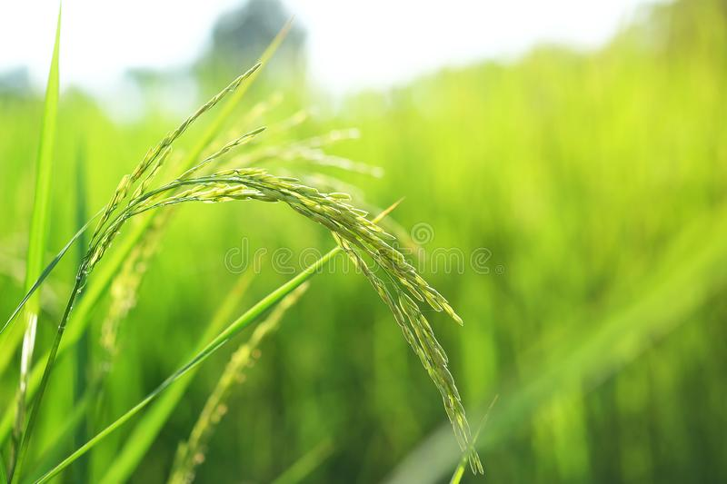 Closeup ear of paddy, Golden Rice Field. Selective focus royalty free stock photography