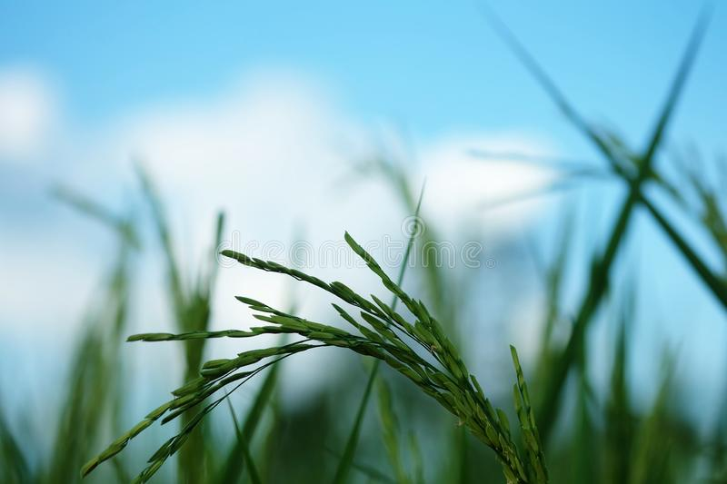 Closeup ear of paddy, Golden Rice Field. Selective focus royalty free stock photo