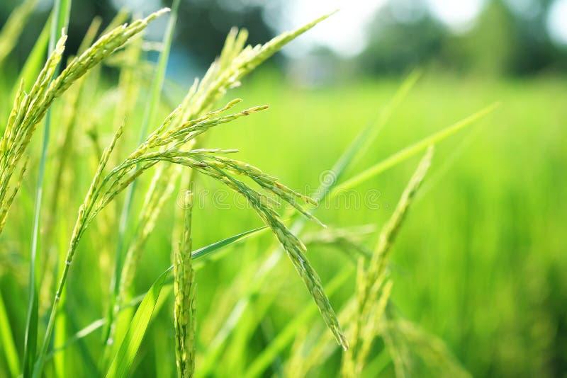 Closeup ear of paddy, Golden Rice Field. Selective focus stock image