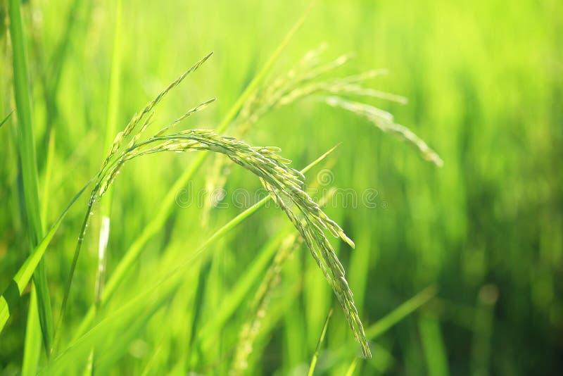 Closeup ear of paddy, Golden Rice Field. Selective focus royalty free stock photos