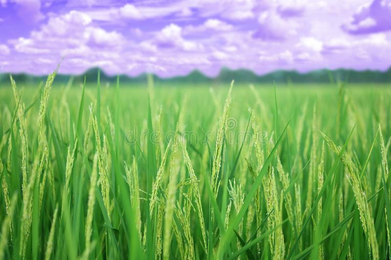 Closeup ear of paddy, Golden Rice Field, with sky and clouds. Selective focus royalty free stock photos