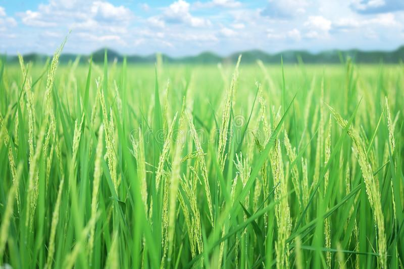 Closeup ear of paddy, Golden Rice Field, with sky and clouds. Selective focus royalty free stock photography