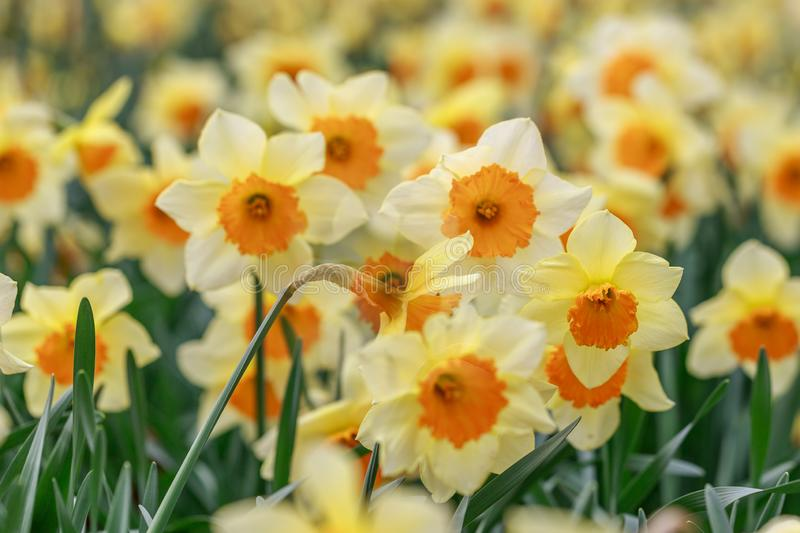 Closeup of Tri-Color Spring Daffodils royalty free stock photos