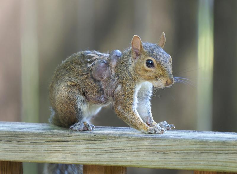 Closeup of a Eastern Gray Squirrel with Three Large  Bot Fly Warbles on It`s Shoulder royalty free stock photo