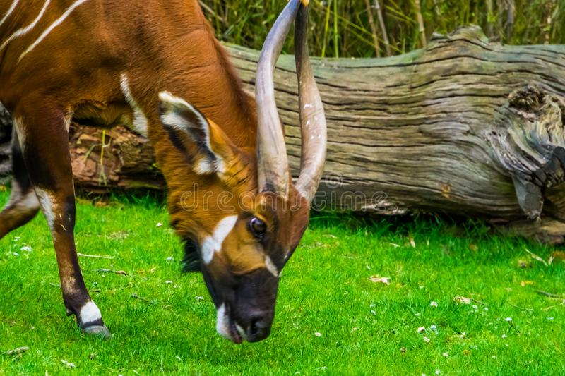 Closeup of a eastern mountain bongo grazing and eating grass, critically endangered animal specie from Africa. A Closeup of a eastern mountain bongo grazing and stock photography