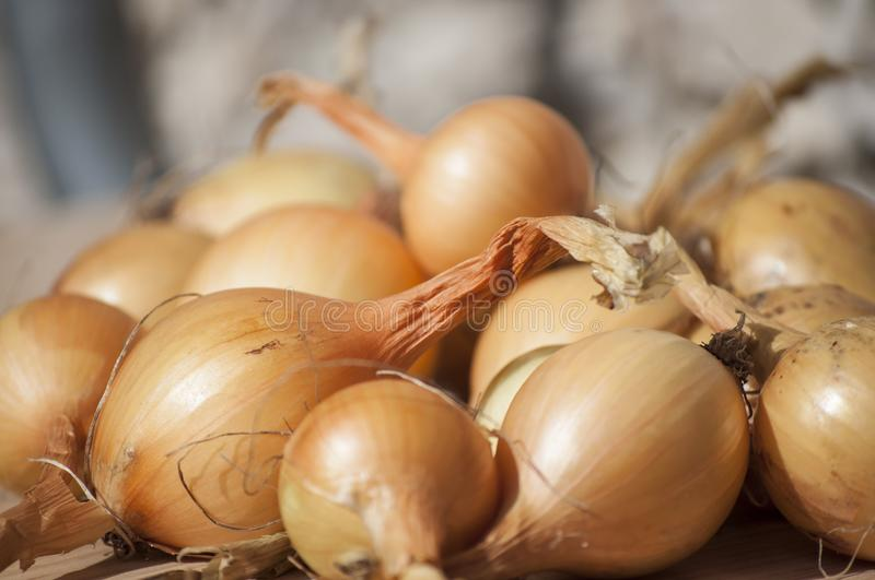 Closeup of ecologic autumn yield- whole onions in sunlight royalty free stock photography