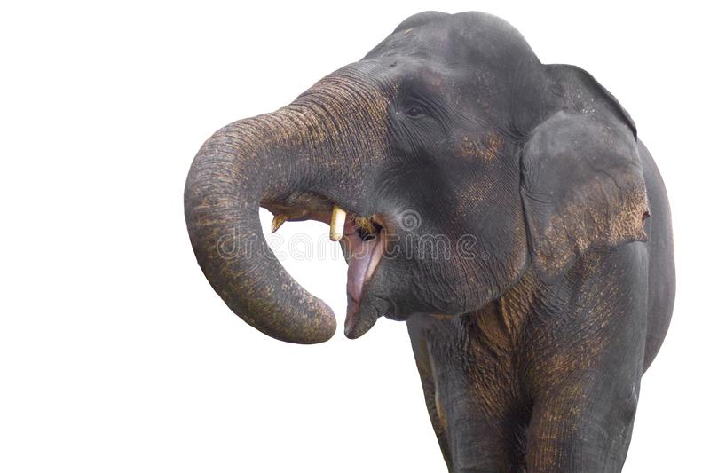 Closeup of elephant with mouth open on white isolated background. stock photography