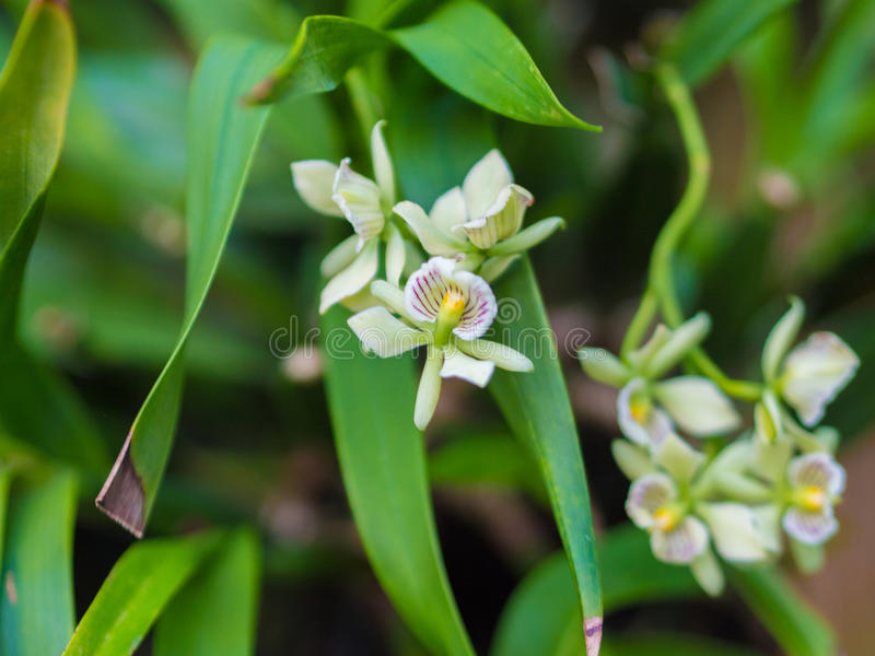 Closeup of Encyclia Radiata Orchid Flower stock images