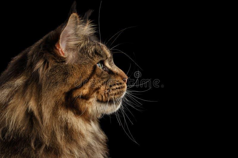 Closeup enorma Maine Coon Cat Profile Looks, isolerad svart bakgrund royaltyfri foto