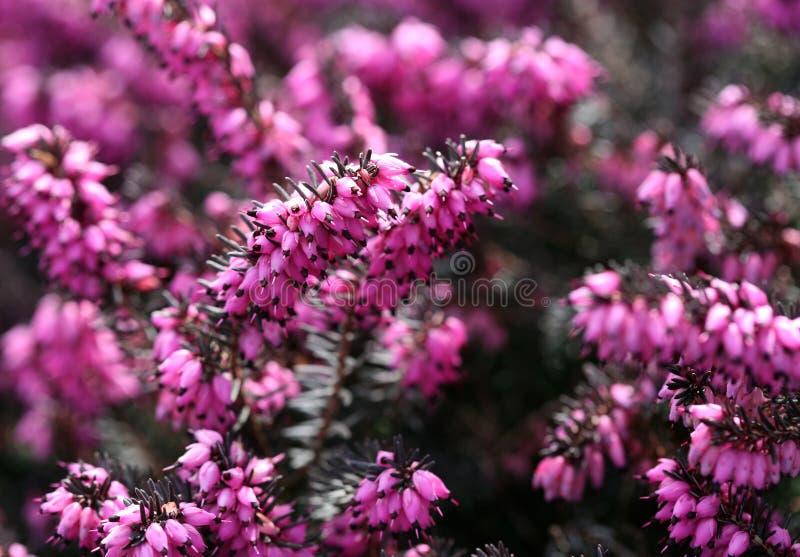 Download Closeup of Erica carnea stock image. Image of ericaceae - 690627