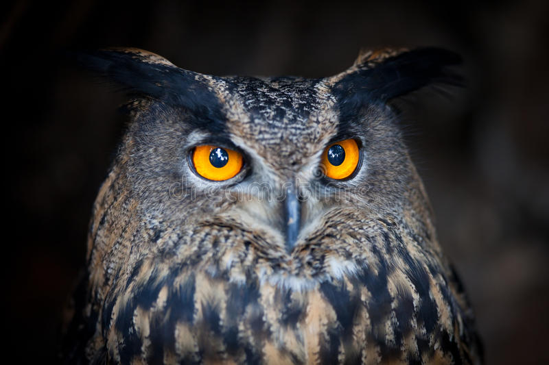 Download Closeup Of A Eurasian Eagle-Owl Stock Image - Image: 24095727