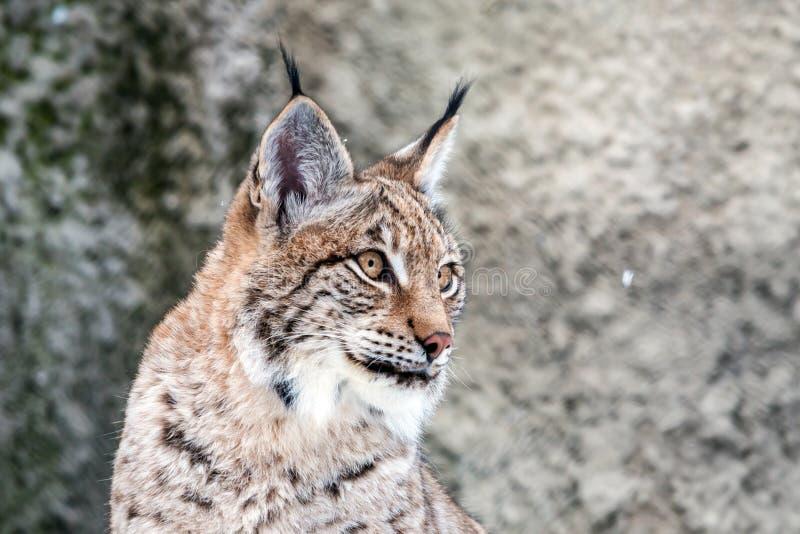 Closeup of a eurasian lynx stock photos