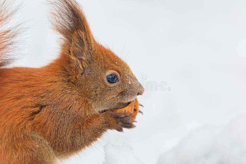 Closeup of Eurasian red squirrel Sciurus vulgaris isolated in white background eating nut in snow in winter. In winter season is. Difficult for squirrels to stock images