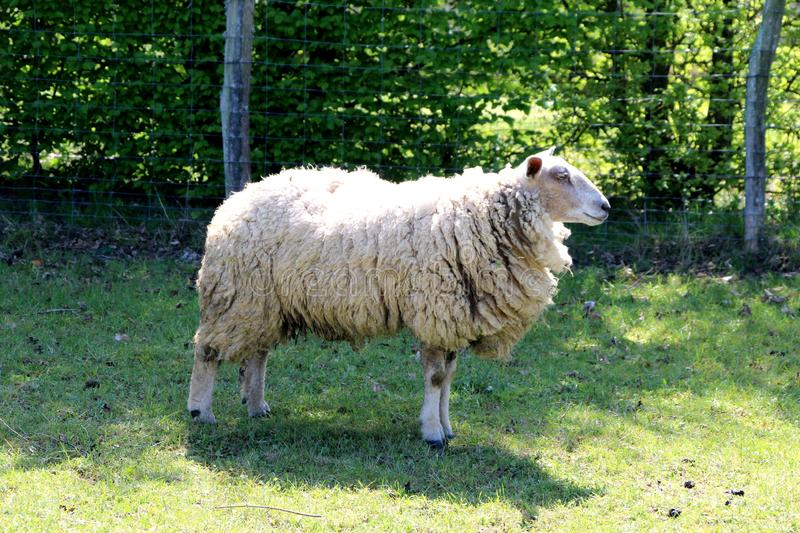 Sheep, a sheep in a field in summer. Closeup on a ewe in his field in summer, the grass is green stock photos