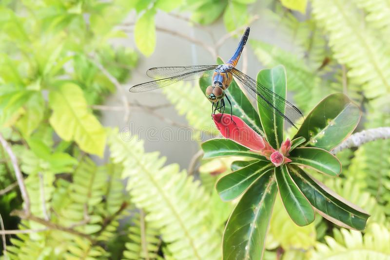 Closeup on exotic colorful dragonfly and red flower. stock image