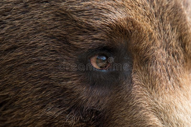 Closeup of the eye of a bear stock images