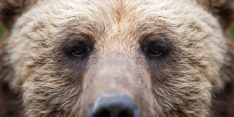 Closeup of the eye of a bear stock image