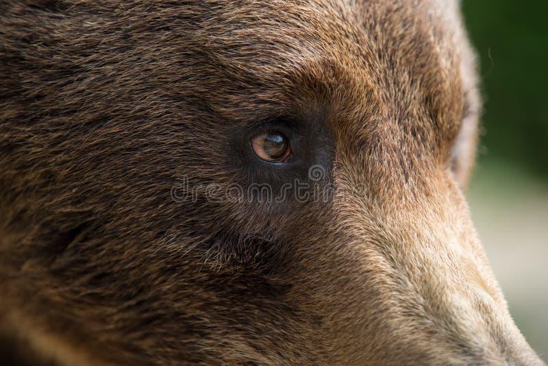 Closeup of the eye of a bear stock photo