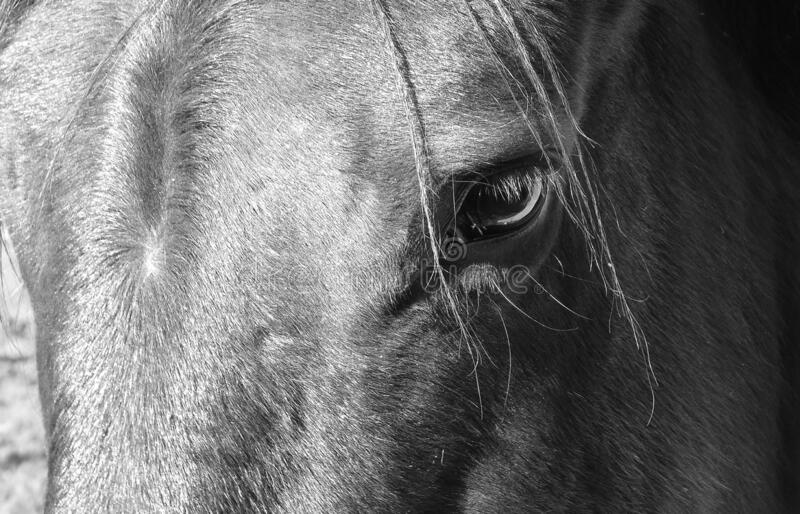 Closeup of eye of a black horse, animal background in black and white. Closeup of eye of a black horse with black hair. Profile of a horse in black and white royalty free stock images