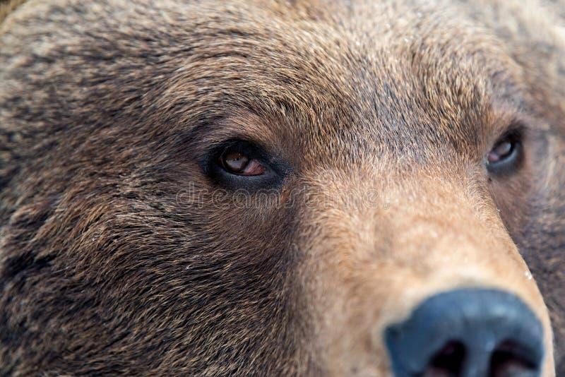 Brown bear eye royalty free stock images