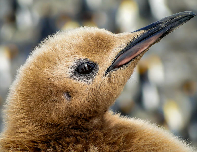 Closeup of eye of King penguin chick (Aptenodytes patagonicus) stock photography