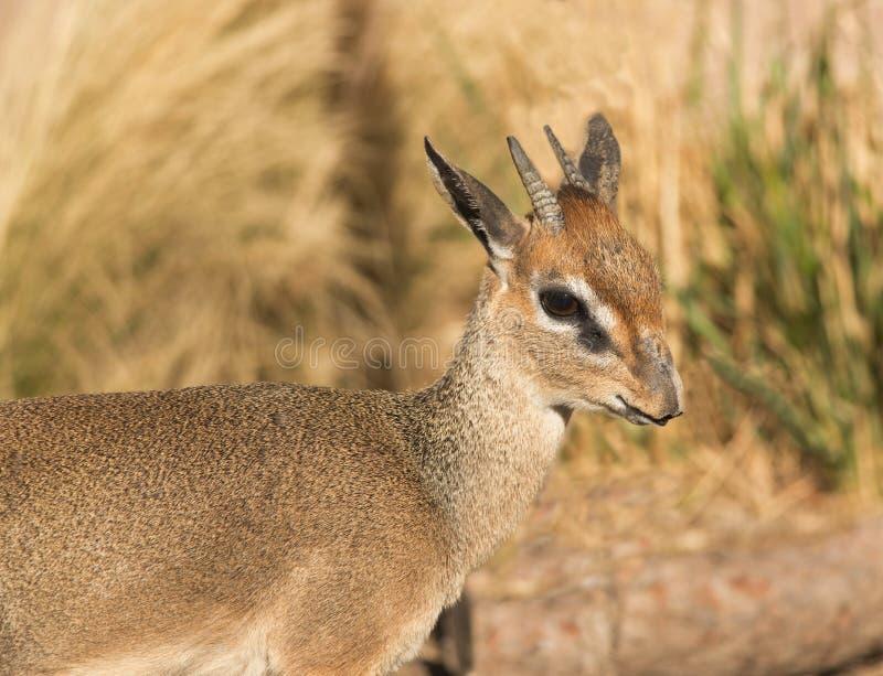Closeup för antilop för Kirk ` s Dik-Dik liten afrikansk i Serengeti av Afrika arkivbild