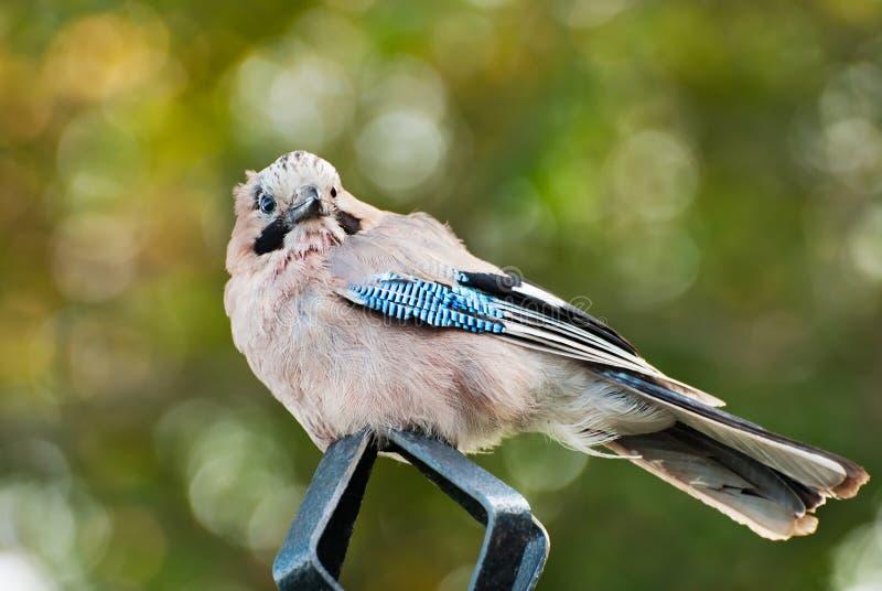 Closeup för blåa Jay Garrulusglandarius) arkivfoton