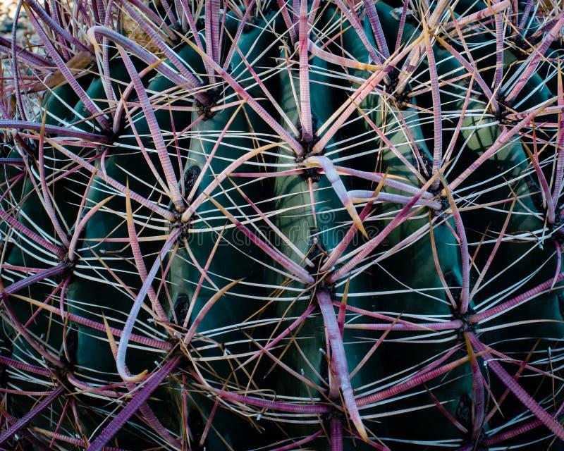Closeup för en metkrok- eller Arizona kaktus som liknas en dusch som visar den röda tonen till de hota taggarna som orsakas av mo arkivfoton