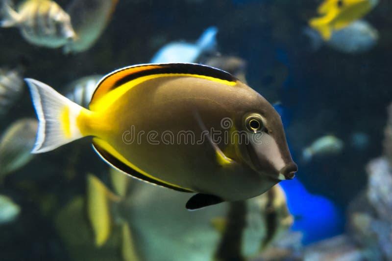 Closeup för fisk för Naso lituratus färgrik royaltyfria foton
