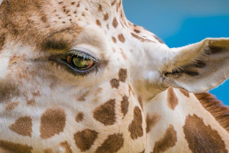Closeup för giraff för Rothschild ` s arkivbild