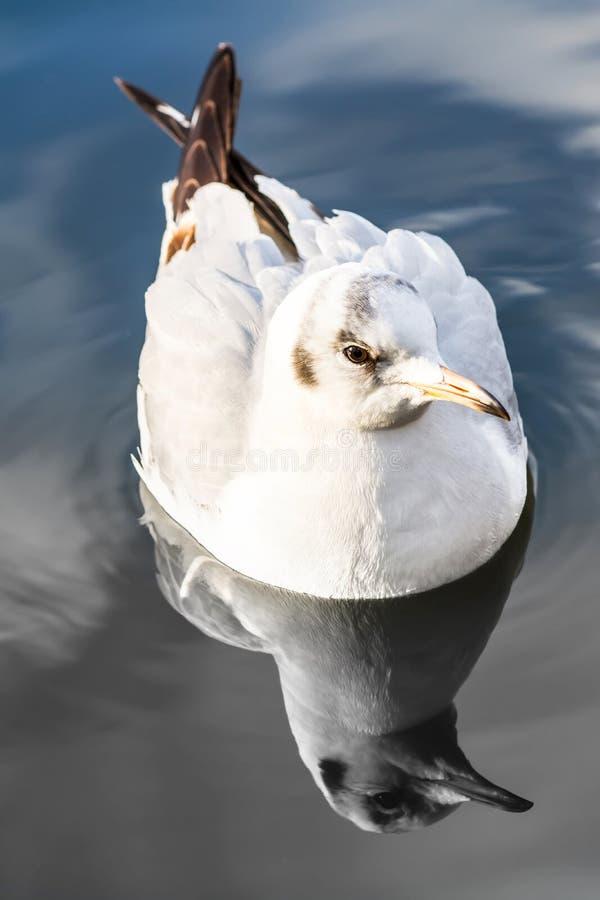 Closeup för havsfiskmås som driver simning på vatten i sjön med svartvit reflexion fotografering för bildbyråer