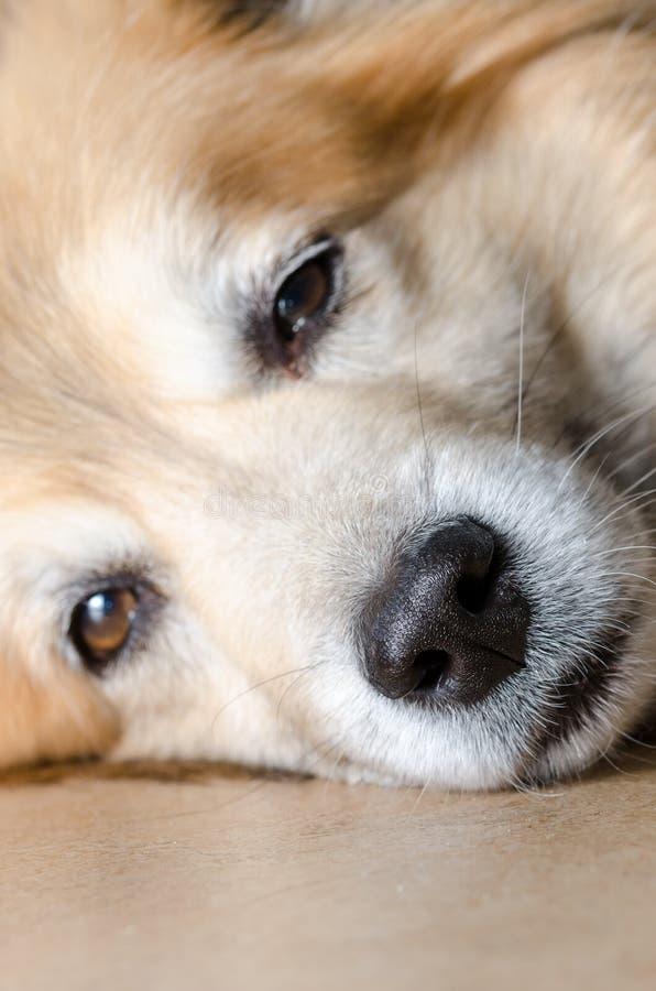 Closeup för hundnäsa arkivfoton