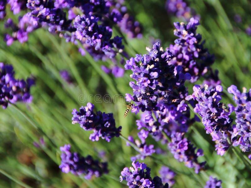 Closeup för lavendelblommafält med att flyga Wasp royaltyfri foto