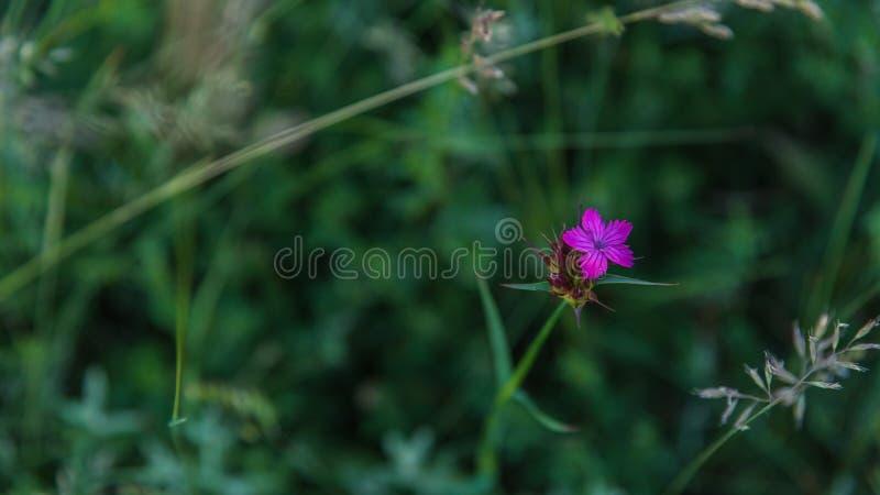 Closeup för nejlika för söt William eller Dianthusbarbatus royaltyfri fotografi