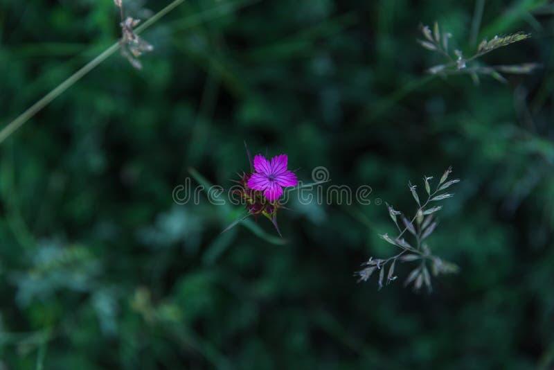 Closeup för nejlika för söt William eller Dianthusbarbatus liten arkivfoto