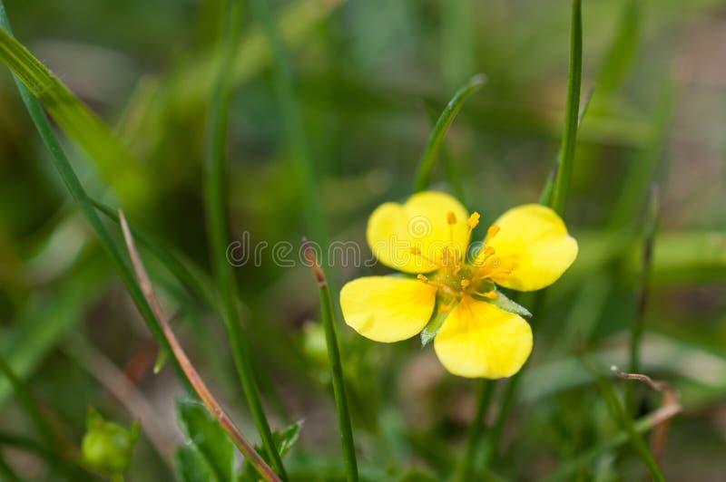 Closeup för Potentillaerectatormentil, septfoil, eregerad cinquefoil, guld- blomma royaltyfria foton