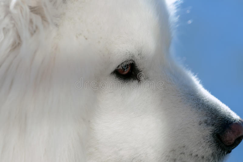 Closeup för Samoyedhundprofil royaltyfri fotografi