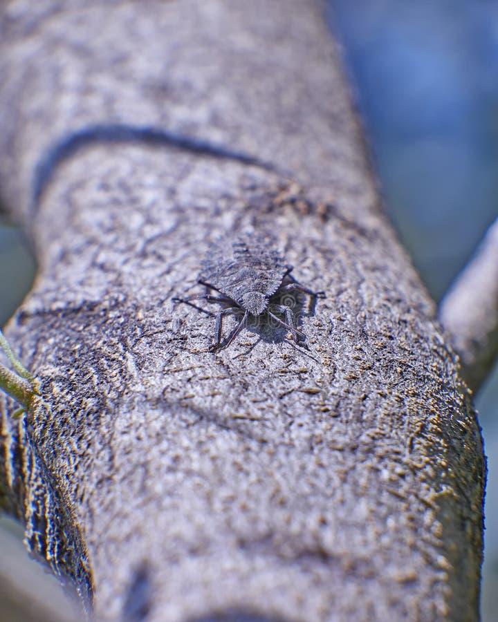 Closeup för sköldfel (carpocoris) arkivfoton