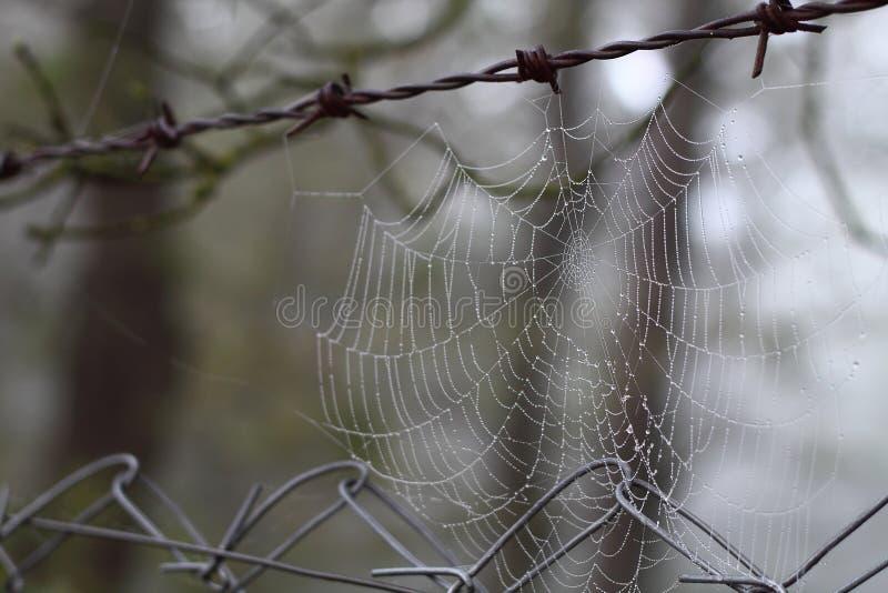 Closeup för spindelrengöringsduk med droppar av dagg på gryning arkivbild