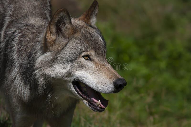 Closeup för stående för en lupus för timmervarg eller Grey Wolf Canis i sommar i Kanada royaltyfria bilder