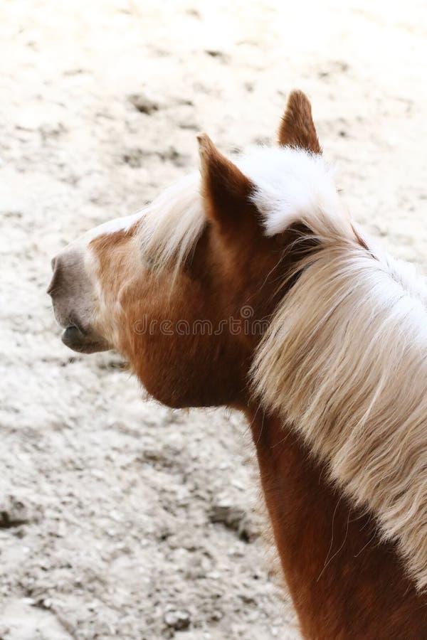 Closeup för ståendehuvudskott av en ung sadelhäst inomhus arkivfoton