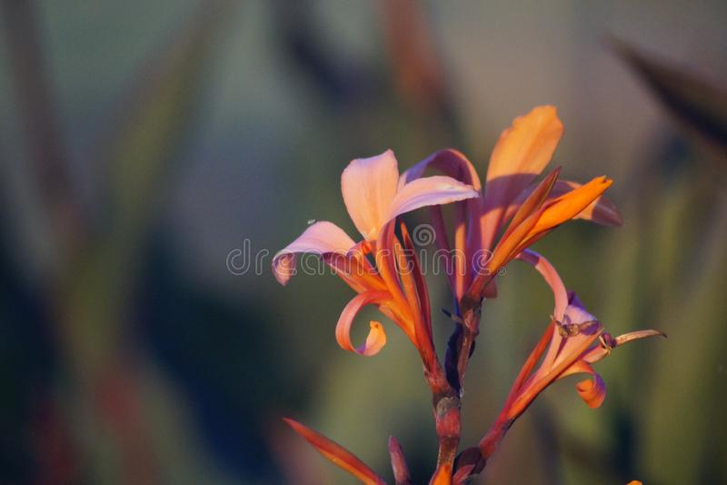Closeup för StrelitziaReginae blomma arkivfoto