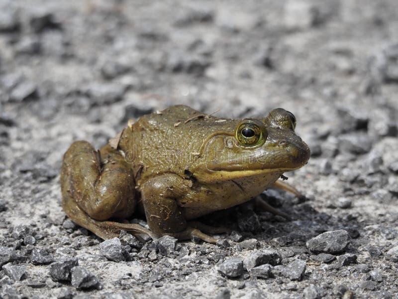 Closeup för tjurgroda som sitter på en grusväg arkivbild