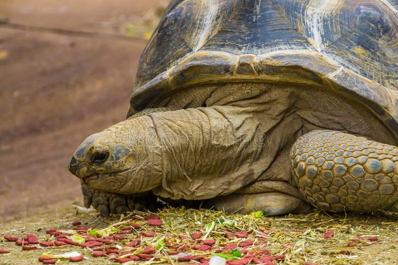 Closeup of the face of a aldabra giant tortoise during feeding time, large tropical land turtle from Madagascar and seychelles,. A closeup of the face of a royalty free stock photo