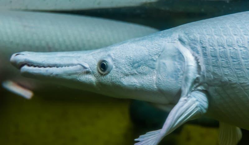 Closeup of the face of a alligator gar, popular aquarium pet, tropical bony fish specie from America. A closeup of the face of a alligator gar, popular aquarium stock image