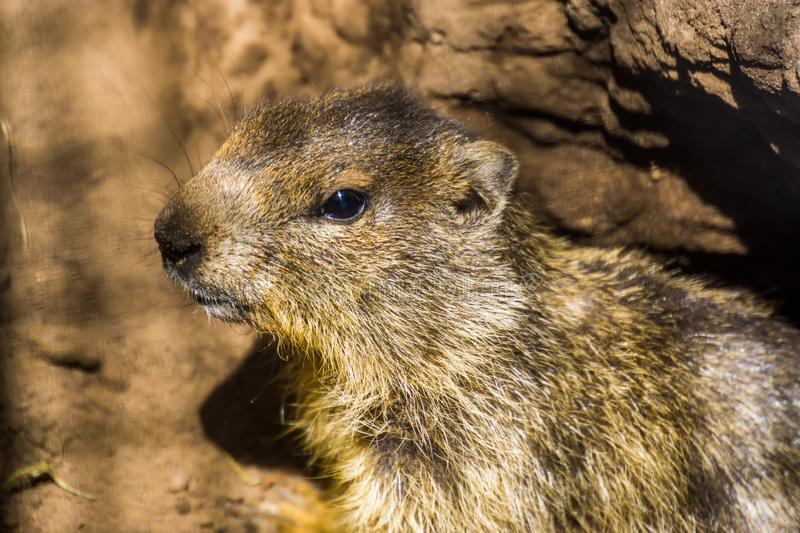 Closeup of the face of a alpine marmot, wild squirrel specie from the Alps of Europe royalty free stock images