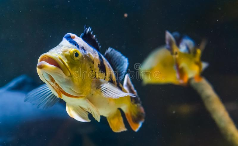 Closeup of the face of a black spotted tillapia cichlid, tropical fish from the rivers of Africa stock image