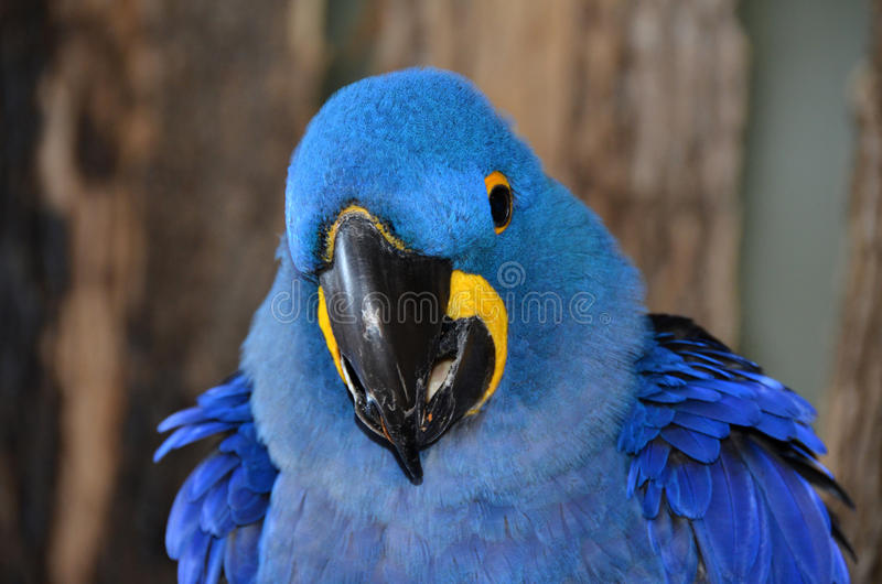 Closeup face from a Blue Hyacinth Macaw. The hyacinth macaw, or hyacinthine macaw, is a parrot native to central and eastern South America. With a length of stock photography
