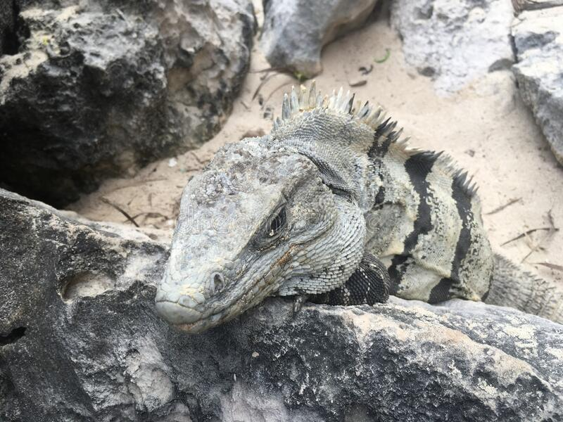 Closeup face and body of reptile. Lizard with open eys, danger face scaly and spiny skin. Mexican grey striped iguana on the stone. Portrait. Looking straight stock photo